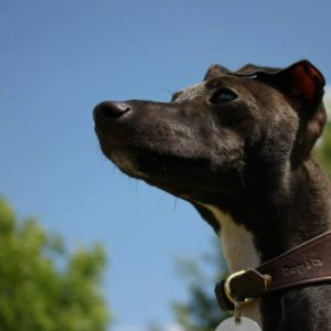 Signature Leather Hound Collars